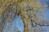 Suchbild Nummer 5: Die Trauerweide im Stadtpark