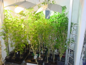 Indoorplantage (Foto: Polizei)