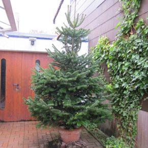 """ZKE statt """"Knut"""" – Weihnachtsbäume werden kostenlos eingesammelt"""