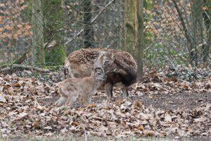 Nachwuchs bei den Mufflons - Landeshauptstadt Saarbrücken/Ralf Blechschmidt