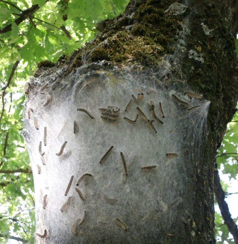 Nest der Eichenprozessionsspinner - Quelle: Landeshauptstadt Saarbrücken