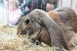 Zuchttier des Kaninchenzüchtervereins SR 6 in Dudweiler (Foto: Thomas Braun)