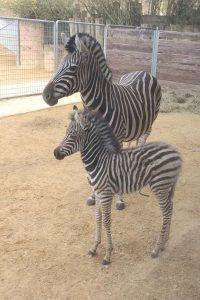 Zebrafohlen - Quelle: Zoo Saarbrücken